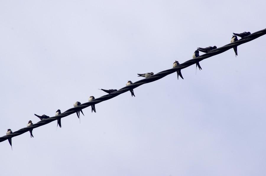 14 hirondelles rustiques posées sur un cable téléphonique