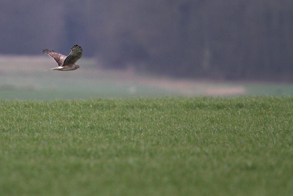 busard st martin femelle en vol