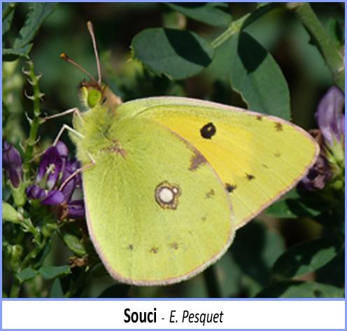 papillon souci vu de profil