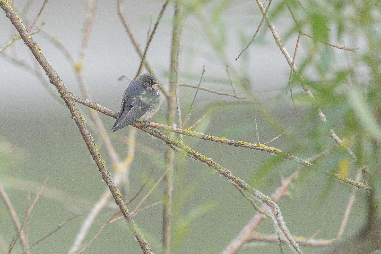 Hirondelle rustique - Hirundo rustica