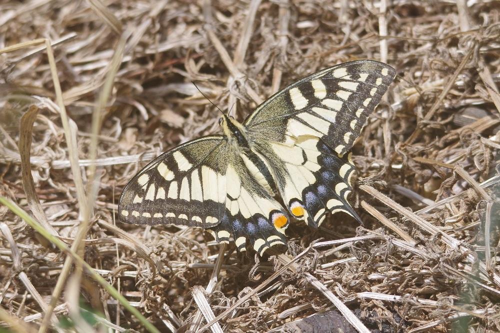 papillon machaon posé au sol